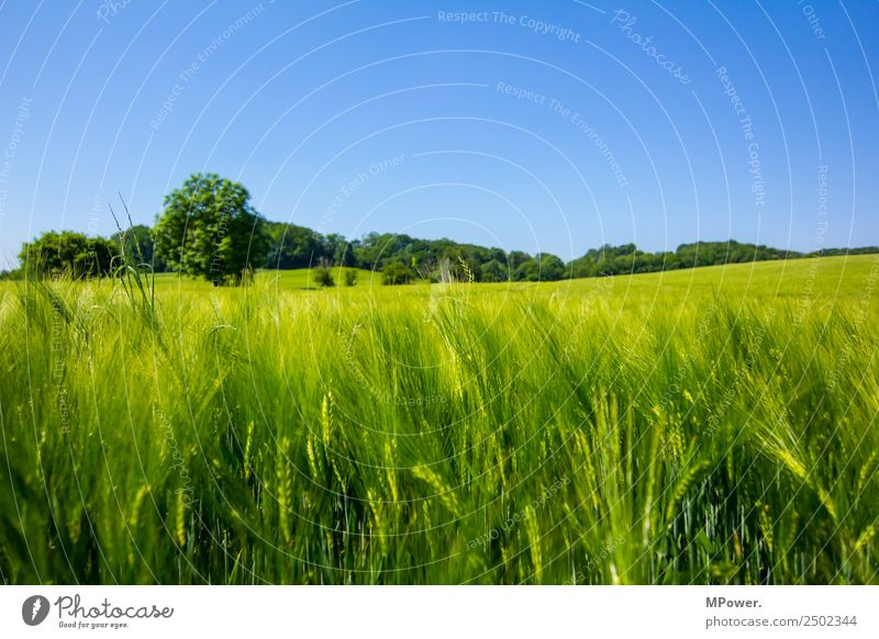 cornfield Environment Landscape Beautiful weather Field Growth Grain field Wheat Roe Green Agriculture Blue Colour photo Exterior shot Day