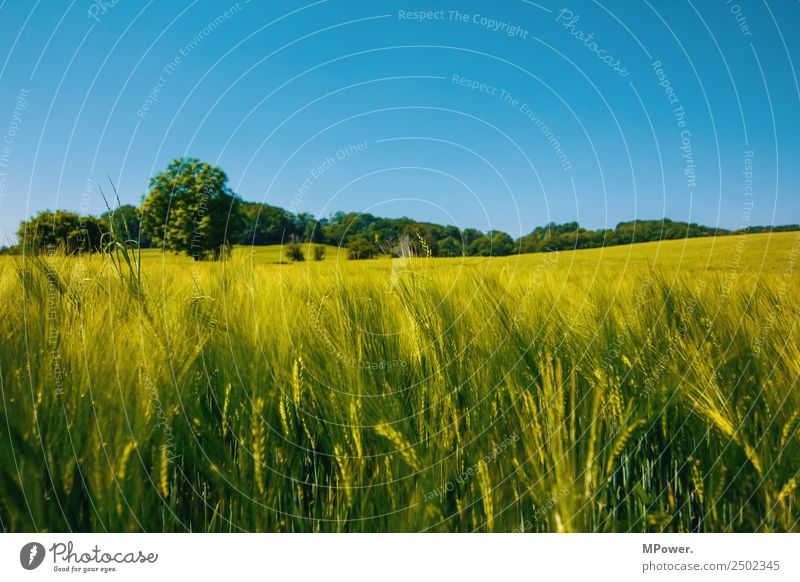 cornfield Environment Beautiful weather Field Climate Rye field Rye ear Blue sky Agriculture Grain field Cornfield Farmer Green Harvest Colour photo