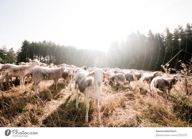 Animal Forest Meadow Funny Group of animals Animal face Observe Pelt Discover Appetite Watchfulness Sheep Brash Thirst Feeding Farm animal