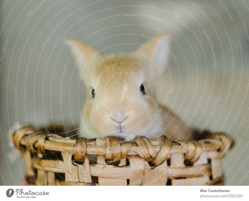 Little rabbit in wooden basket Happy Beautiful Summer Easter Nature Animal Spring Pet Farm animal Animal face 1 Small Natural Cute Soft Brown Warm-heartedness