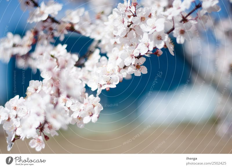 cherry blossom in early spring Nature Plant Spring Tree Flower Blossom Blossoming Pink White Cherry blossom Cherry tree Cherry tree wood Flourish Colour photo