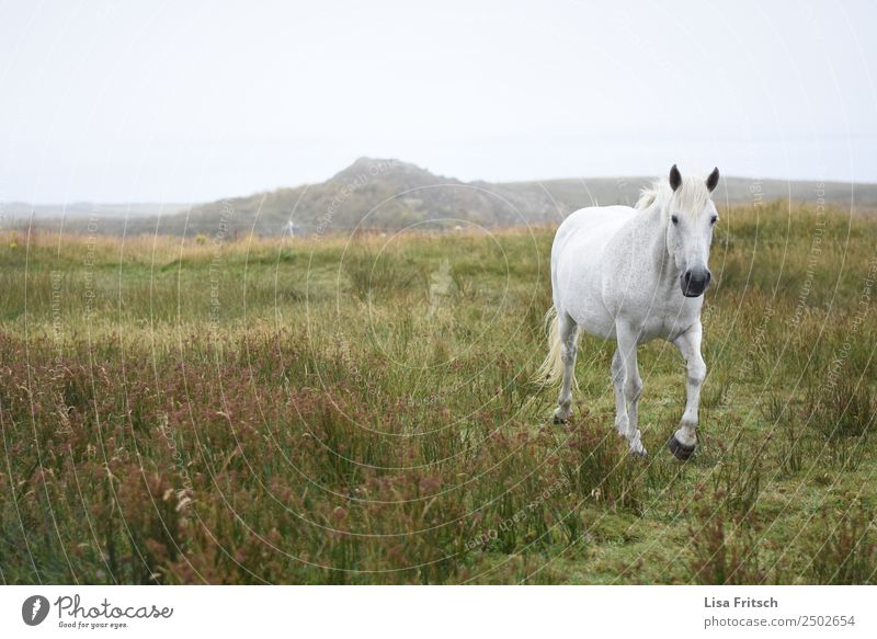 White horse running in the grass, Ireland. Environment Nature Landscape Grass Meadow Hill Horse 1 Animal Movement Free Natural Effort Freedom