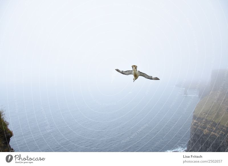 nosedive - fog, Cliffs of Moher - Ireland Vacation & Travel Environment Nature Landscape Fog Rock Ocean Bird Wing 1 Animal Flying Beginning Speed Idyll Tourism