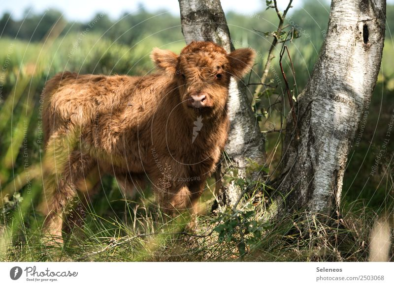 Nature Summer Tree Animal Baby animal Environment Tourism Trip Field Beautiful weather Soft Pelt Cow Animal face Cuddly Farm animal