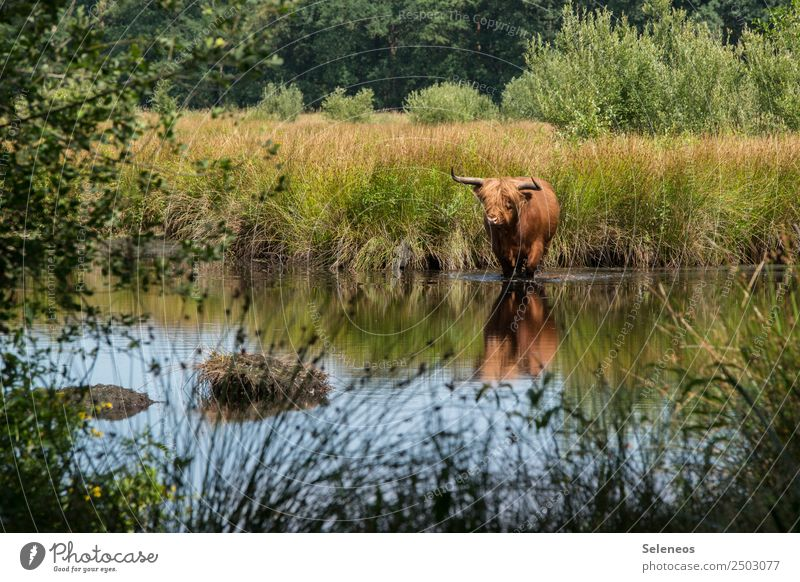 wet hooves Cow Animal Wild animal Water Lake Pond bank Lakeside Nature Environment Exterior shot Colour photo Deserted Grass Landscape Reflection