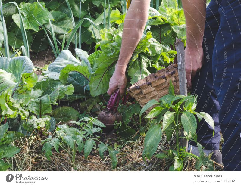 Farmer's hands picking red beets in the orchard. Vegetable Nutrition Vegetarian diet Diet Agriculture Forestry Industry Man Adults Hand 1 Human being Nature