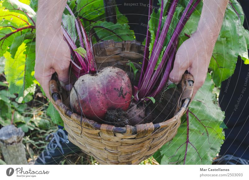 Farmer's hands picking red beets in the orchard. Vegetable Nutrition Vegetarian diet Diet Summer Kitchen Agriculture Forestry Gastronomy Man Adults Hand 1