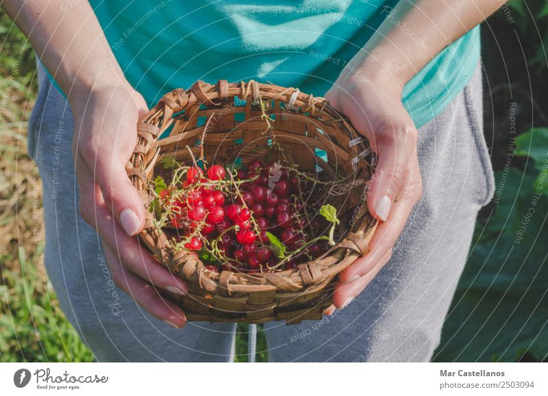 Woman's hands picking red currants in a basket. Human being Nature Blue Plant Hand Red Adults Natural Group Gray Work and employment Fruit Fresh Bushes Wellness