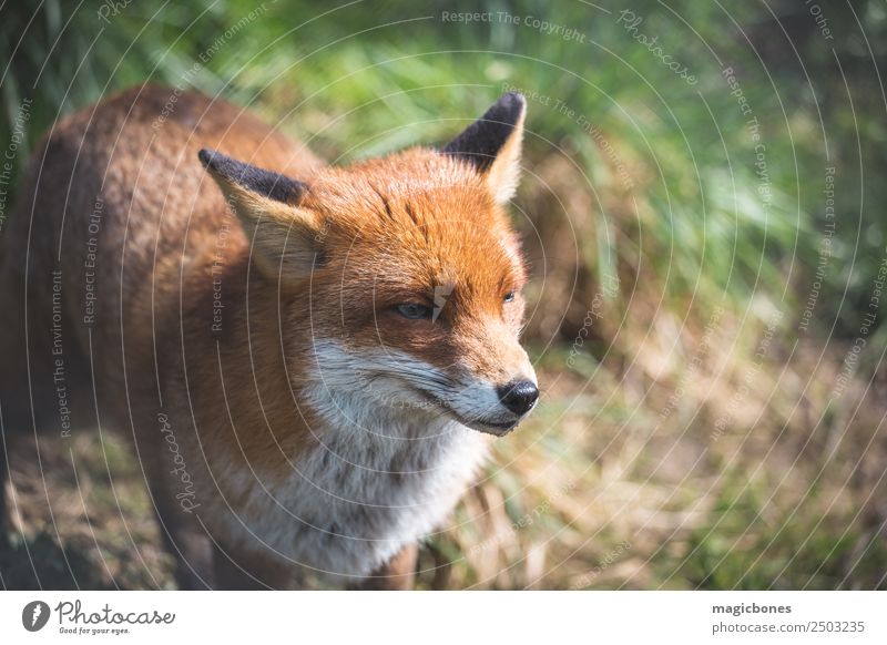 European Red Fox Adults Nature Landscape Animal Grass Lie Wild Green alert background British Carnivore England european red fox fauna low angle Mammal Native