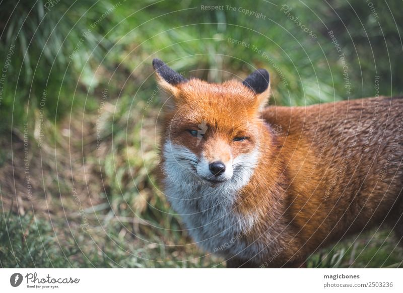 European Red Fox Relaxation Adults Nature Landscape Animal Grass Lie Wild Green alert background British Carnivore european red fox fauna low angle Mammal