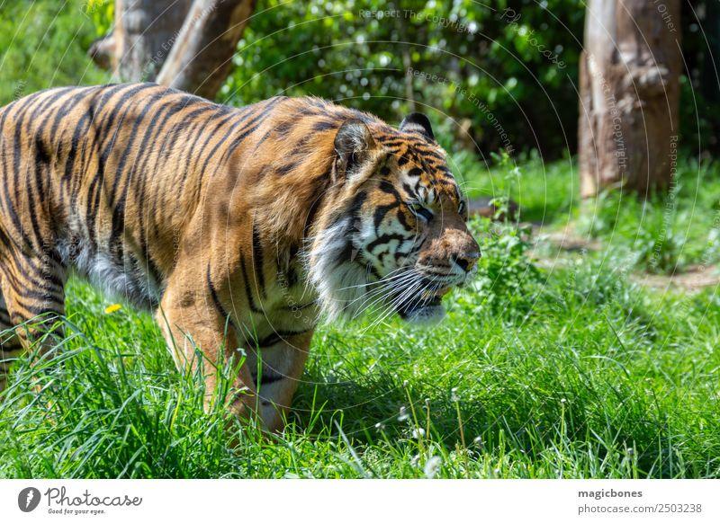 Prowling Sumatran Tiger Zoo Animal Virgin forest Cat Animal face 1 Stripe Wild Critically Endangered Panthera tigris sondaica amur Bengal big Big cat Carnivore