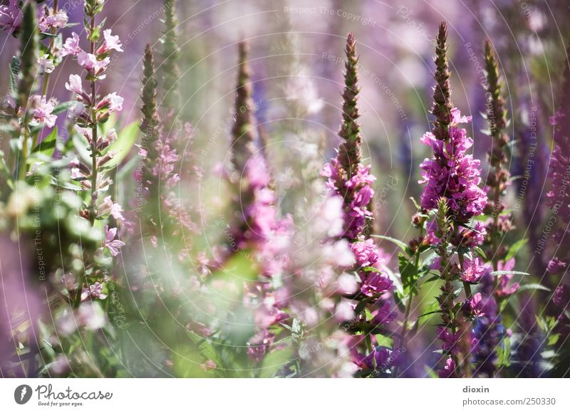 Lythrum salicaria [4] Environment Nature Plant Summer Flower Leaf Blossom Wild plant common loosestrife Herbaceous plants Garden Park Blossoming Growth