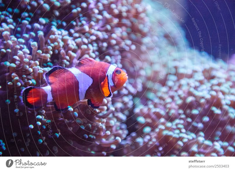 Ocellaris clownfish Amphiprion ocellaris Coral reef Animal Wild animal Fish Animal face 1 Orange White Clown fish orange fish marine fish tropical fish anemone