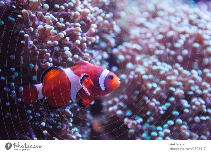 Ocellaris clownfish Amphiprion ocellaris Coral reef Animal Wild animal Fish 1 Orange White Clown fish orange fish marine fish tropical fish anemone anemonefish