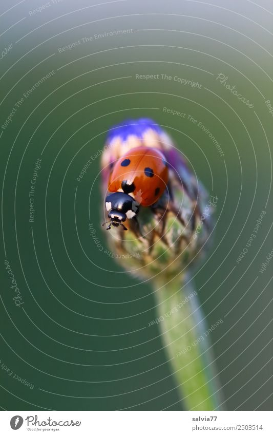 soon it blossoms Nature Summer Plant Flower Blossom Bud Cornflower Garden Meadow Wild animal Beetle Seven-spot ladybird Ladybird Insect 1 Animal Crawl