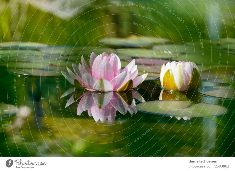 water lily Nature Plant Water Leaf Blossom Lotus Pond Green Pink Calm Water lily Colour photo Deserted Copy Space top Copy Space bottom Shallow depth of field
