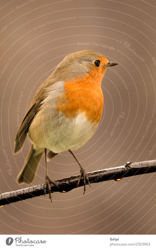 Pretty bird Beautiful Life Man Adults Environment Nature Animal Bird Small Natural Wild Brown White wildlife robin common perched background passerine