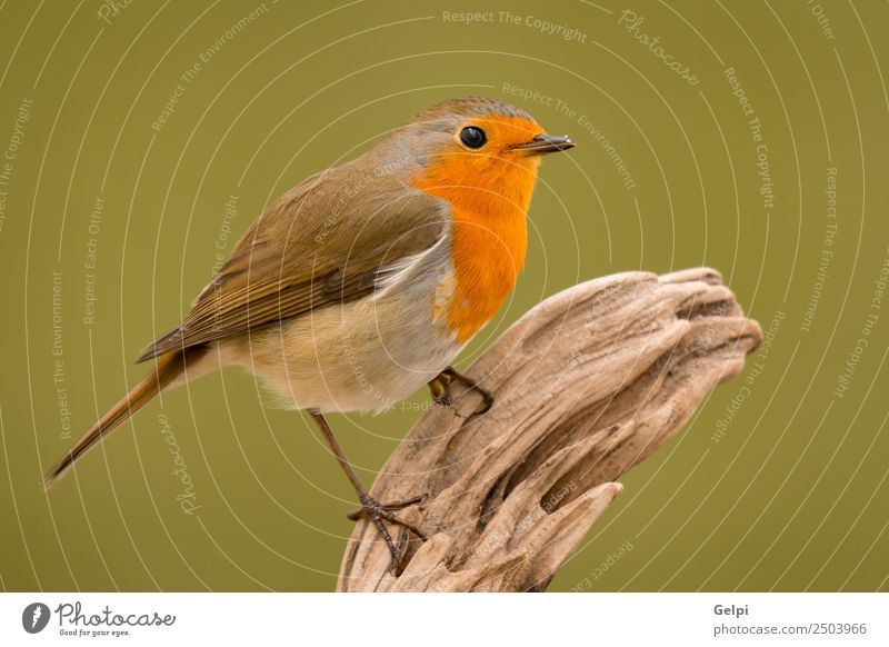 Pretty bird Beautiful Life Man Adults Environment Nature Animal Bird Wood Small Natural Wild Brown White wildlife robin common perched background passerine