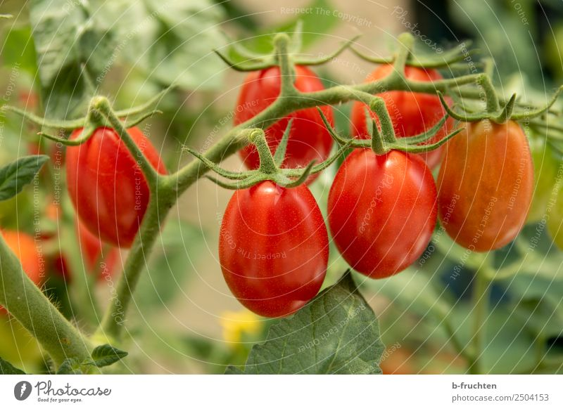 date tomatoes Food Vegetable Organic produce Healthy Garden Gardening Summer Plant Bushes Agricultural crop Select Fresh Red Tomato Vine tomato Blossom Mature