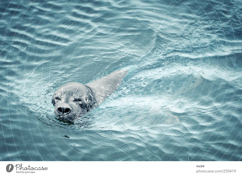 eyes to and through Ocean Waves Nature Animal Water Wild animal Animal face 1 Swimming & Bathing Curiosity Cute Blue Seals Harbour seal Head Surface of water