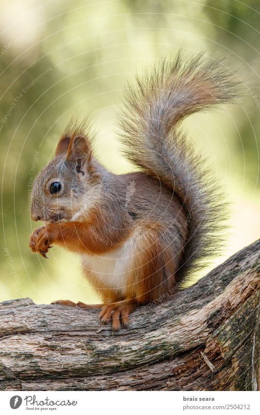 Red Squirrel eating Leisure and hobbies Education Science & Research Biology Environment Nature Animal Earth Forest Wild animal 1 ardilla roja fauna animals