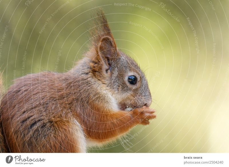 Red Squirrel. Science & Research Biology Environment Nature Animal Earth Forest Wild animal 1 Love of animals ardilla roja fauna Mammal Finland Europe European