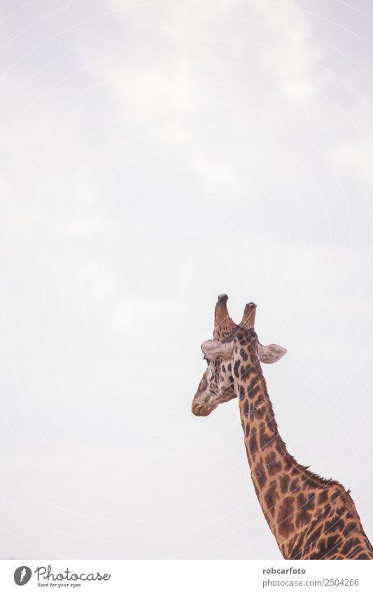 Giraffes in masai mara in kenya africa Vacation & Travel Tourism Trip Safari Summer Nature Landscape Animal Sky Warmth Grass Park Meadow Herd Wild Kenya Africa