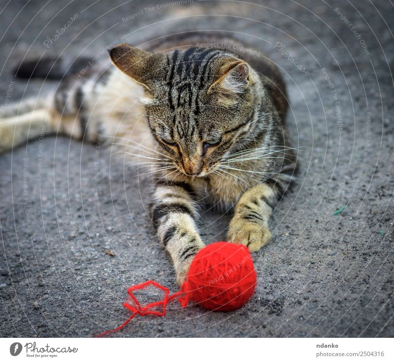 young gray kitten Summer Nature Animal Pet Cat 1 Lie Playing Cute Gray Red tabby Domestic Kitten eye Mammal Striped ball lies plays woolen Colour photo