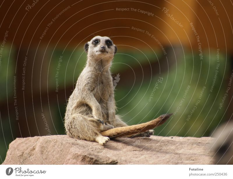 Nature Animal Environment Sit Wild Natural Wild animal Observe Pelt Tails Meerkat