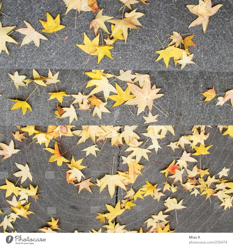 star thaler Autumn Leaf To fall Star (Symbol) Maple tree Maple leaf Autumn leaves Autumnal Autumnal colours Colour photo Multicoloured Exterior shot Pattern