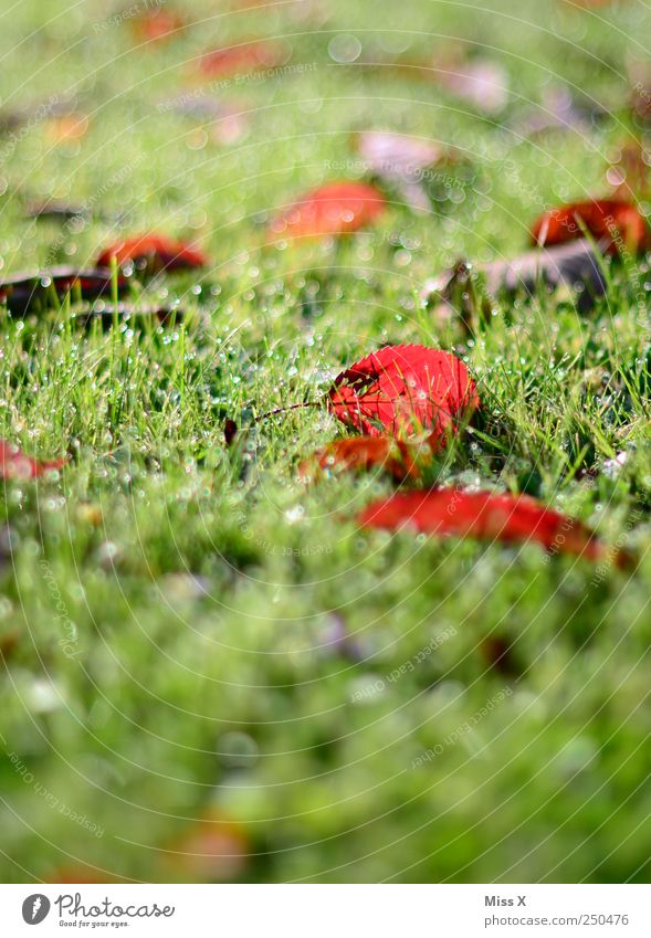 Nature Plant Red Leaf Meadow Grass Rain Wet Drops of water Dew Autumnal Autumnal colours