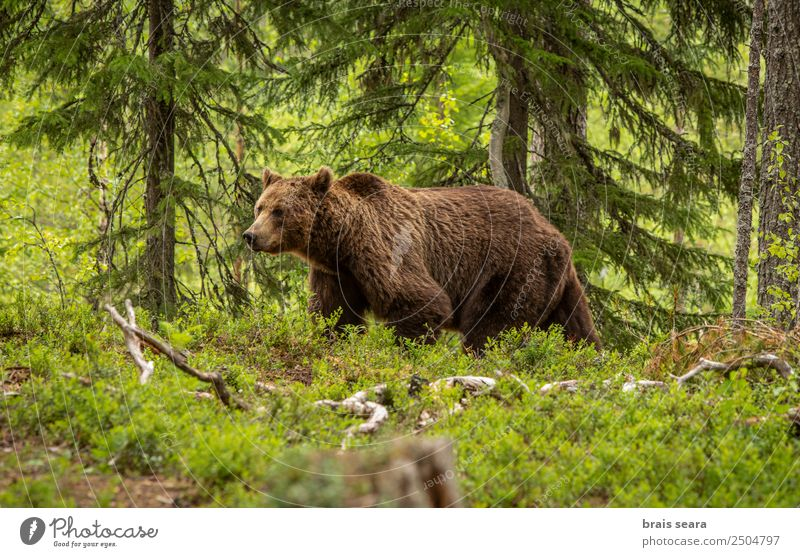 Brown Bear on forest Safari Biologist Hunter Environment Nature Animal Earth Tree Forest Wild animal Brown bear 1 Love of animals Dangerous Freedom