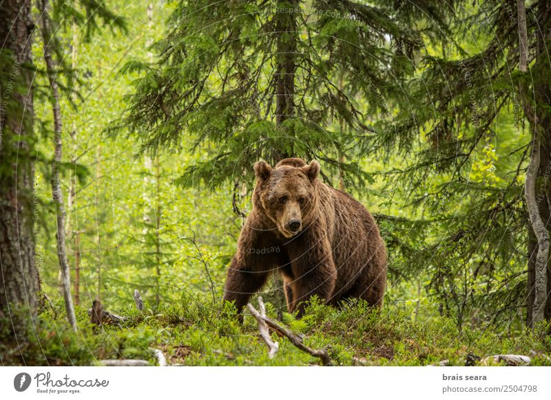 Brown Bear on forest Adventure Safari Camping Hunting Agriculture Forestry Environment Nature Animal Earth Tree Fur coat Wild animal Brown bear 1
