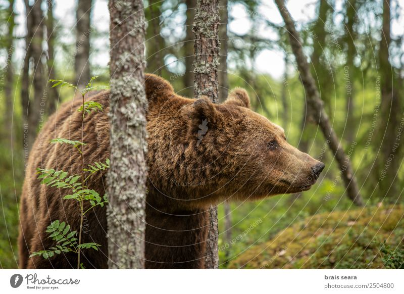 Brown Bear portrait Safari Expedition Science & Research Biology Hunter Environment Nature Animal Earth Tree Forest Wild animal 1 Natural Love of animals