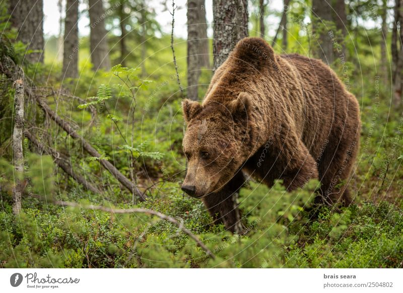 Brown Bear Vacation & Travel Adventure Biology Hunter Agriculture Forestry Environment Nature Animal Earth Tree Wild animal Brown bear 1 Caution