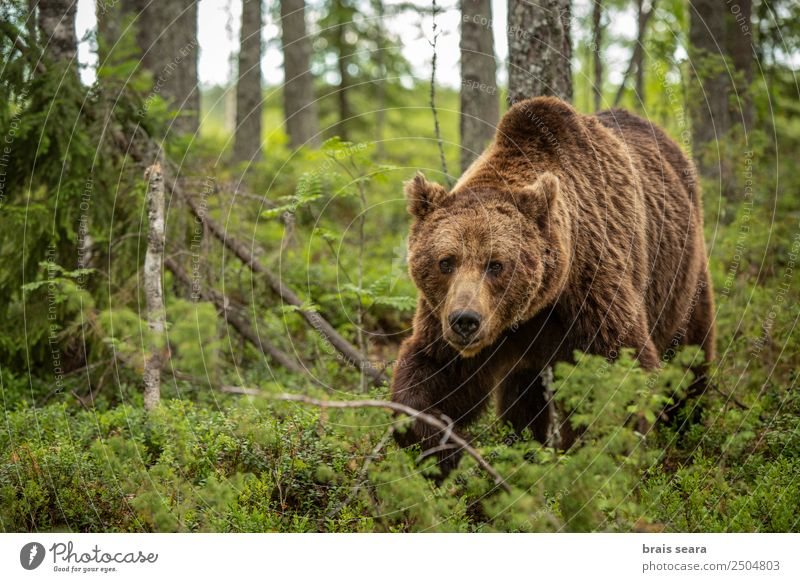 Brown Bear Vacation & Travel Adventure Science & Research Biology Hunter Environment Nature Animal Earth Plant Tree Forest Wild animal Brown bear 1