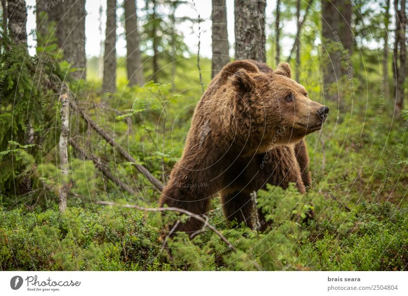 Brown Bear Vacation & Travel Science & Research Biology Hunter Environment Nature Animal Earth Tree Forest Wild animal 1 Love of animals