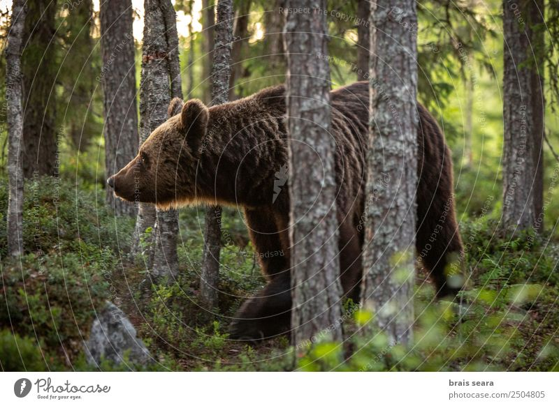 Brown Bear Science & Research Biology Biologist Hunter Environment Nature Animal Earth Tree Forest Wild animal 1 Love of animals Environmental protection
