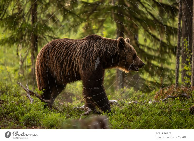 Brown bear on forest. Science & Research Biology Biologist Hunter Agriculture Forestry Environment Nature Animal Earth Tree Wild animal Bear 1 Love of animals