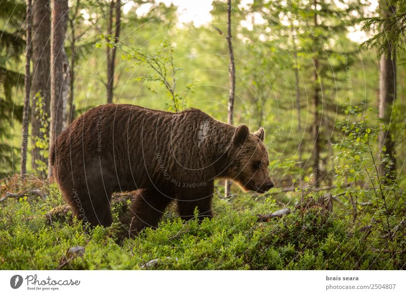 Brown Bear on forest. Vacation & Travel Science & Research Biology Biologist Hunter Environment Nature Animal Earth Tree Forest Finland Wild animal 1