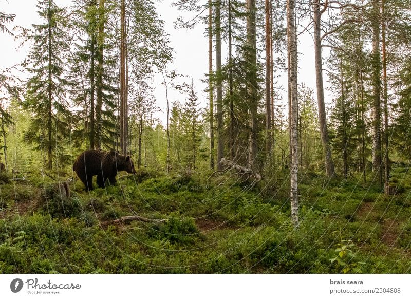Brown Bear on forest Science & Research Biology Biologist Hunter Agriculture Forestry Nature Animal Earth Wild animal Brown bear 1 Willpower Love of animals