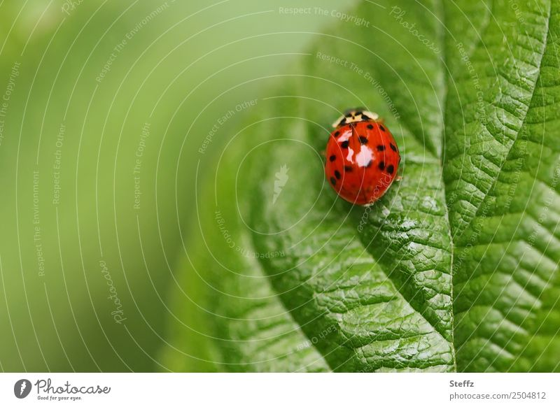 dots and lines Nature Plant Animal Summer Leaf Rachis Garden Park Forest Beetle Ladybird beneficial Insect Crawl Beautiful Gray Red Idyll June July Summery
