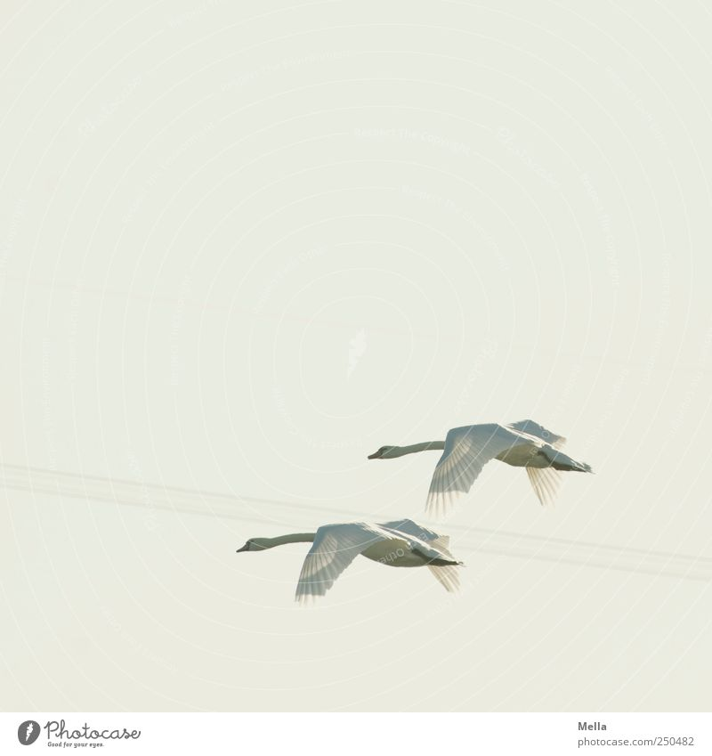 swan flight Environment Nature Animal Air Sky Bird Swan 2 Pair of animals Movement Flying Esthetic Free Together Bright Natural Elegant Freedom Wing Plumed