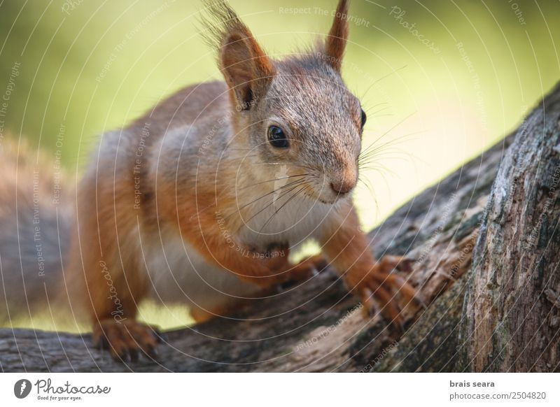 Red Squirrel. Eating Lifestyle Happy Face Winter Snow Environment Nature Animal Earth Autumn Tree Park Forest Fur coat Pet Wild animal 1 Feeding Funny Natural