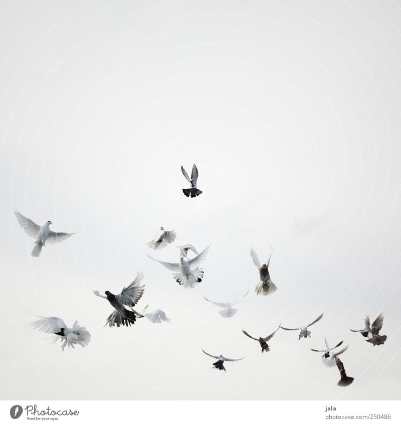 Sky White Beautiful Animal Black Gray Feasts & Celebrations Bird Flying Esthetic Pigeon Flock