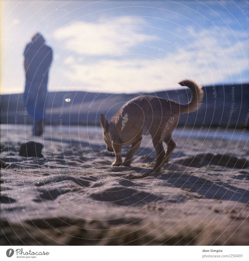 Summer Beach Far-off places Animal Sand Dog Bright Going Walking Search To go for a walk Idyll Analog Medium format Fuerteventura Walk the dog