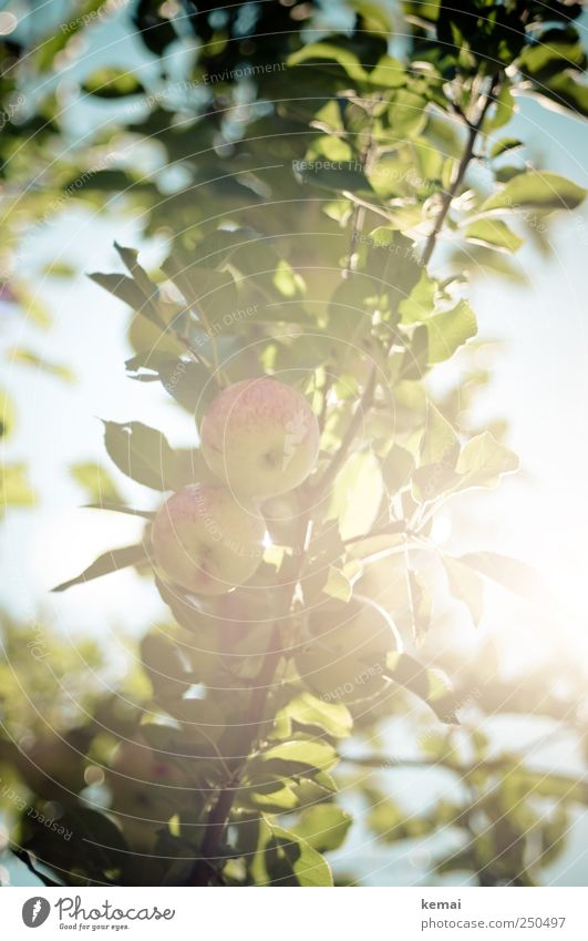 It's harvest time soon Fruit Apple Environment Nature Plant Sky Summer Beautiful weather Tree Leaf Agricultural crop Apple tree Apple tree leaf Branch Hang