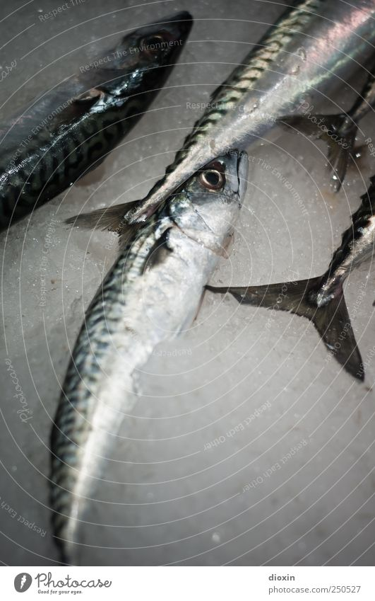 friday again Food Fish Nutrition Fish market Fishery Animal Dead animal Mackerel Group of animals Lie Cold Protein Fresh Ice Colour photo Interior shot Close-up