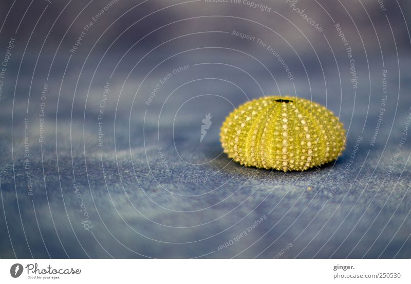 round thing Environment Nature Animal Ocean Island Dead animal Sea urchin Sea urchin shell 1 Round pox Burl Things Skeleton Greeny-yellow Point Clear