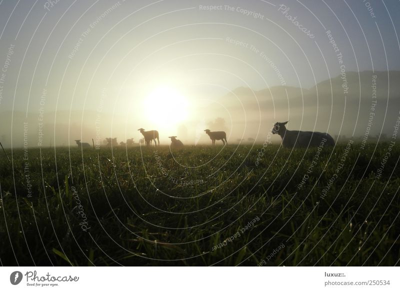 sheep Nature Farm animal Herd Sustainability Peaceful Serene Fog Dew Dawn Morning Meadow Pasture Animal Wool Lamb Indifferent Silhouette